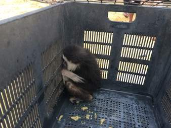 Wild gibbon trapped inside fruit basket