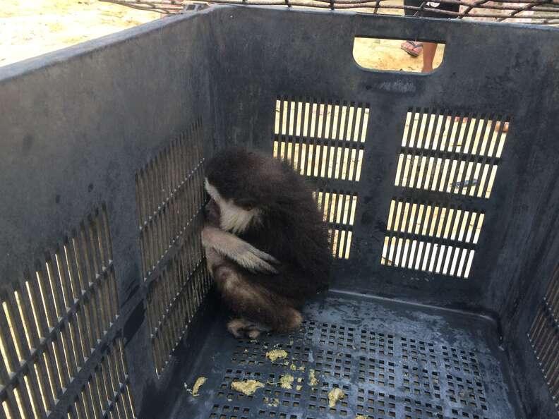 Wild gibbon trapped inside fruit basket
