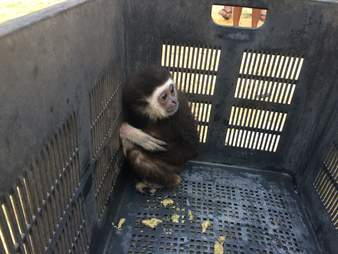 Wild gibbon inside plastic fruit basket