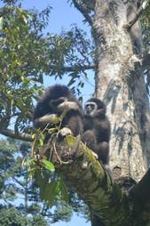 Wild gibbons sitting in a tree together