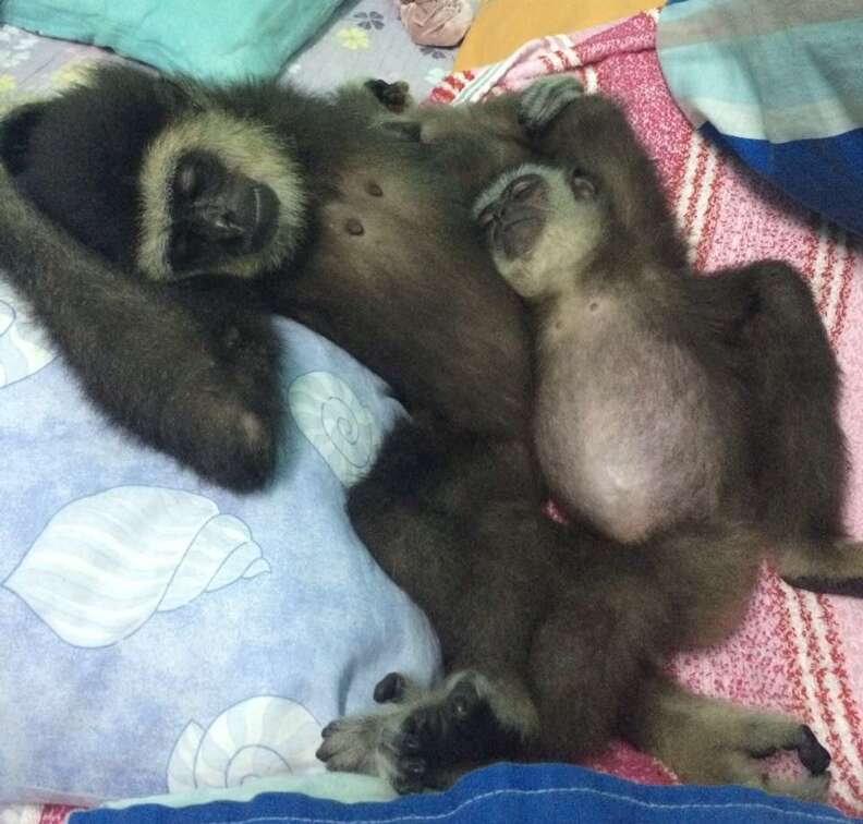 Baby gibbons taking a nap together