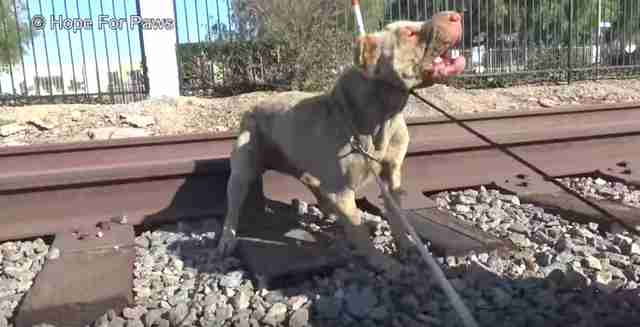 dog abandoned on train tracks