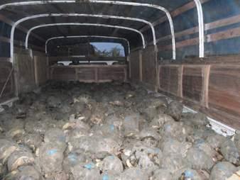 Radiated tortoises inside truck