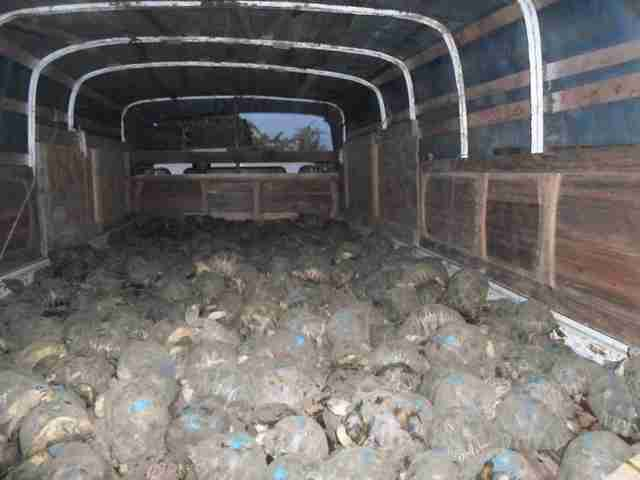 Radiated tortoises inside truck