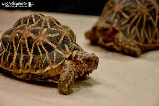 Radiated tortoises standing together