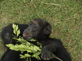 Chimp lying on grass at sanctuary