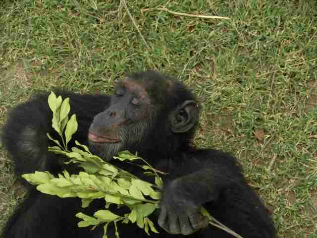 Chimp lying on grass at sanctuary