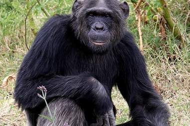 Chimp sitting on the ground at sanctuary