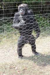 Chimp standing at fence of enclosure