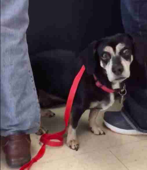 Jasper the beagle at the Davidson County Animal Shelter