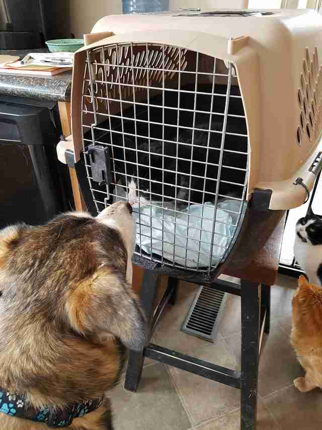 'Feral' cat meeting rescue dog at his new home