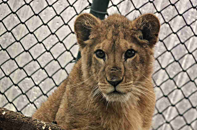 Baby lion saved from Paris apartment