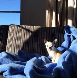 chihuahua terrified of thunderstorms gets a special bed