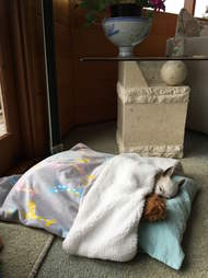 chihuahua scared of thunderstorms gets a special bed