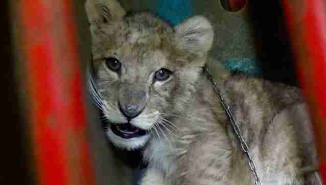 Abused baby lion found in Paris apartment