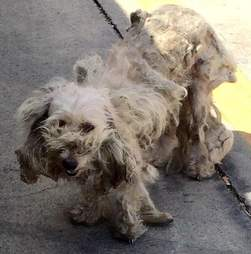 matted dog texas poodle mix