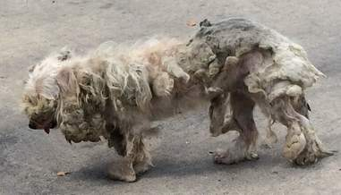 matted dog rescue texas poodle
