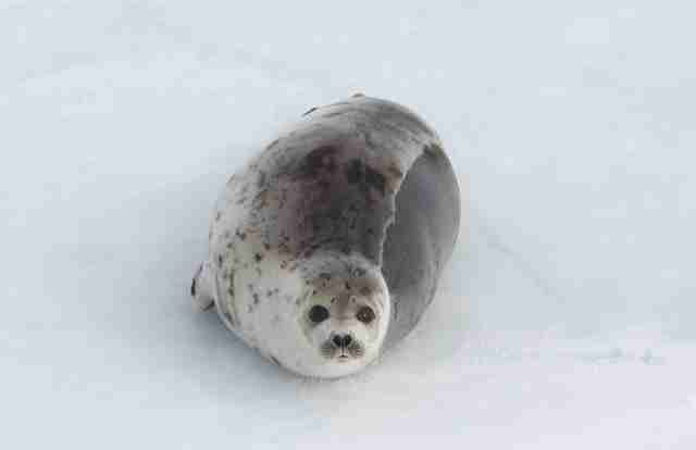 Baby seal sitting on ice