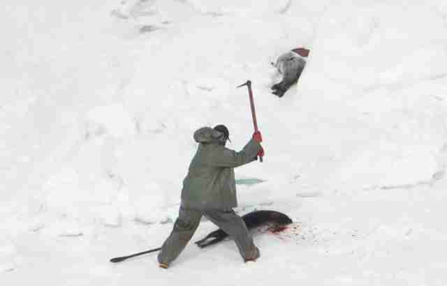 Hunter stabbing seals during hunt