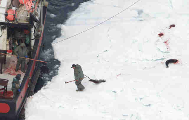 Hunter dragging dead seals to ship