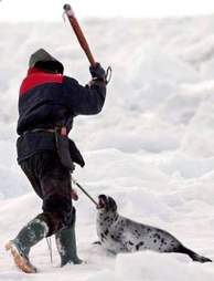 Hunter killing baby seal