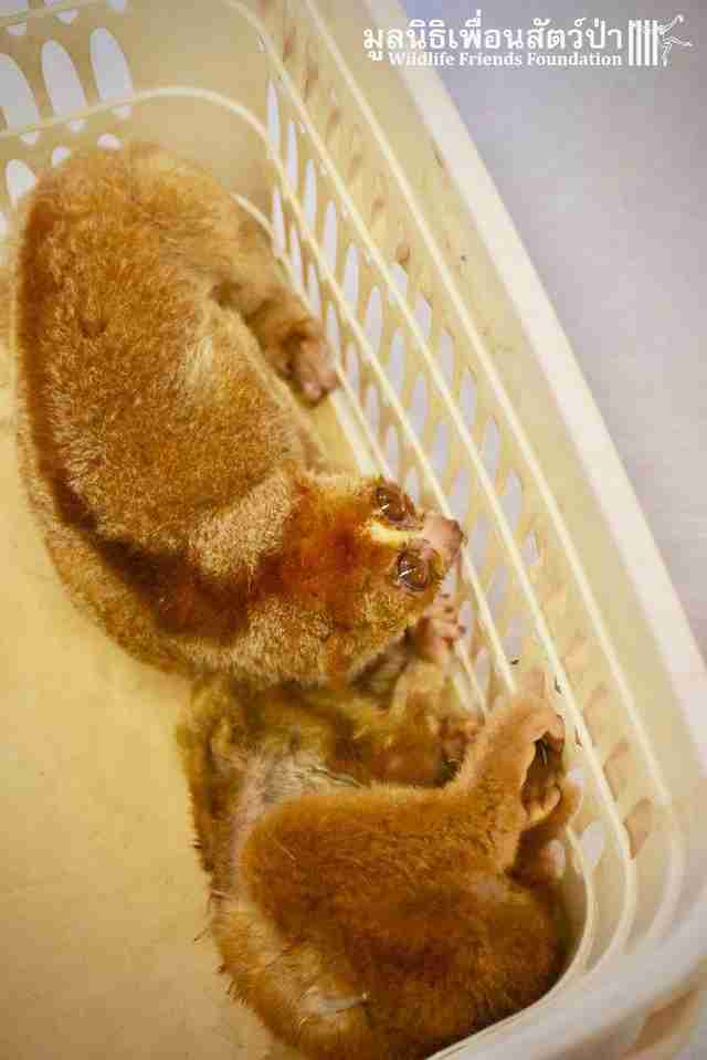 Starving slow lorises saved from being a pet in Thailand