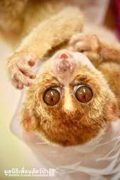 Starving slow loris saved from being a pet in Thailand