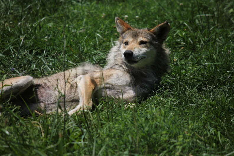 Endangered Mexican gray wolf