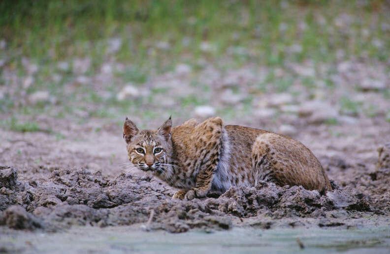 Bobcat drinking water in Texas