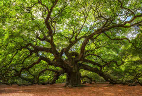 Angel Oak Charleston