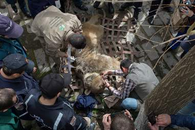Rescuers taking bear out of cage