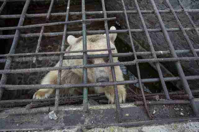 Captive bear inside concrete pit