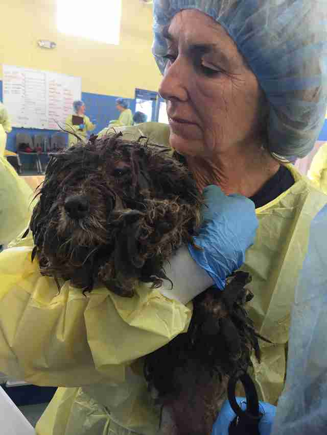 havanese breeder rescue