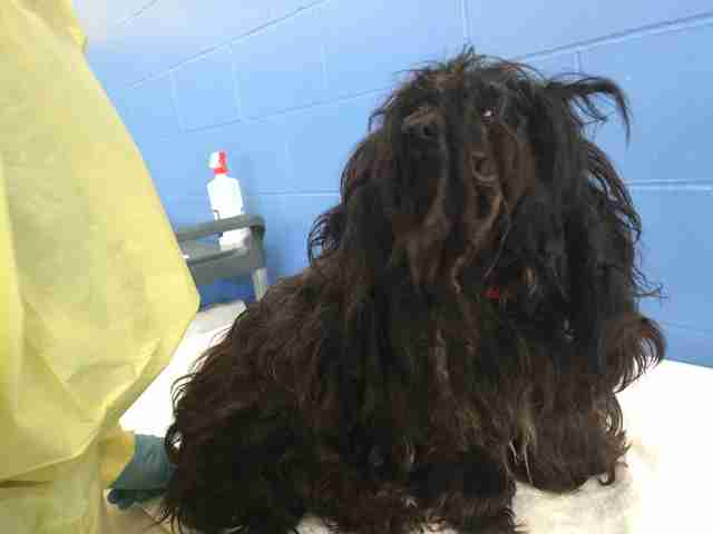 matted havanese rescue breeder