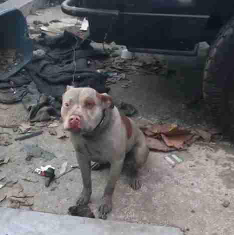 Chained up pit bull in Los Angeles