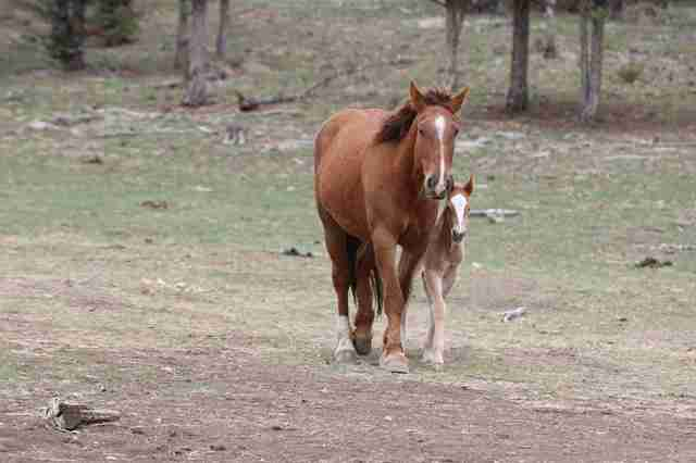 Red Lady with her foal at Oregon sanctuary