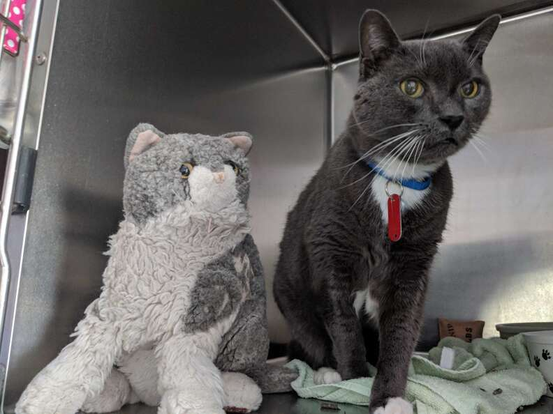 Cat at shelter with stuffed animal