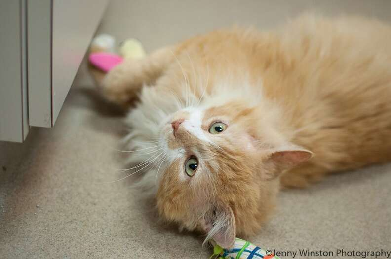 abandoned cat walked 12 miles home