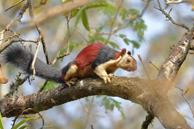 Malabar squirrel on a tree