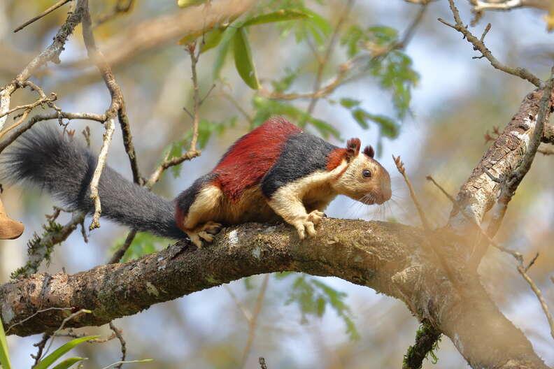 Malabar squirrel on a tree