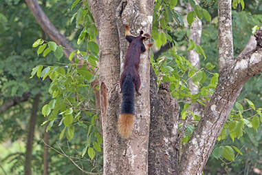 Malabar giant squirrel climbing tree