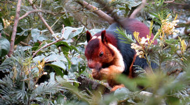 Malabar giant squirrel eating in the forest