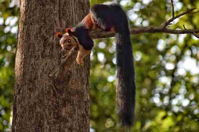 Malabar giant squirrel on tree branch
