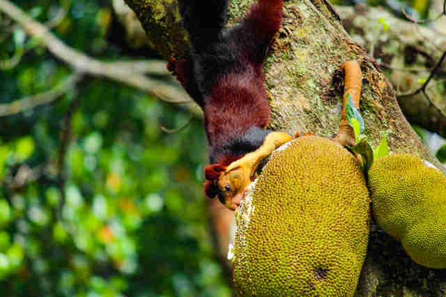 Malabar giant squirrel eating fruit