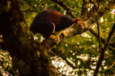 Malabar giant squirrel on tree branch