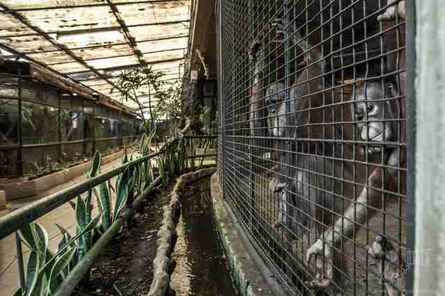 Apes living in substandard conditions at Pata Zoo