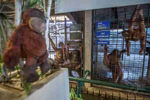 Orangutans on display at Pata Zoo