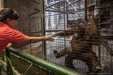 Visitor feeding orangutan