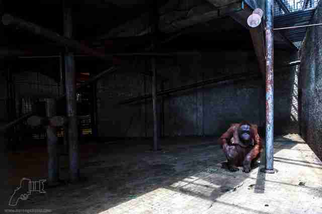 Orangutan inside barren enclosure