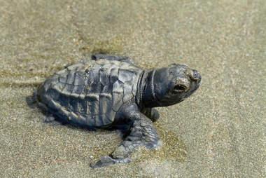 turtle egg poaching mexico